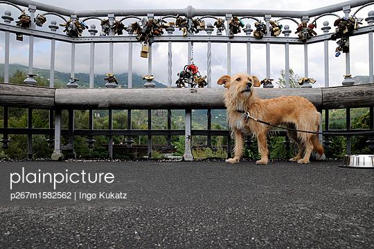 Hund - p267m1582562 von Ingo Kukatz