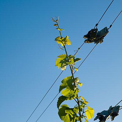 Weinrebe, Neuseeland - p1201m1050060 von Paul Abbitt