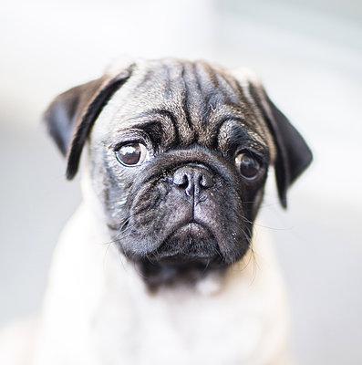 Pug Puppy - p1635m2237748 by Amanda Witt