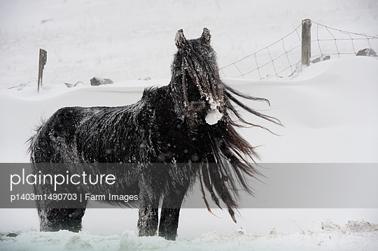 Fell Pony grazing in snow storm, Cumbria. - p1403m1490703 by Farm Images