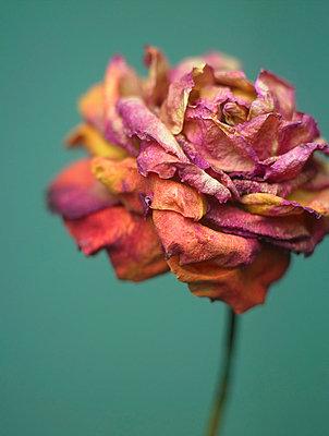Trockenblume - p509m763065 von Reiner Ohms