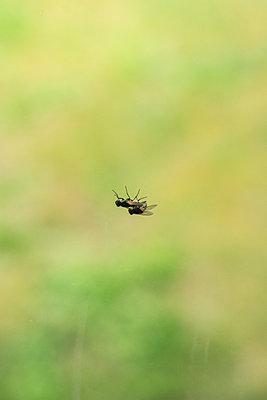 Common house flies, reproduction - p1402m2288104 by Jerome Paressant