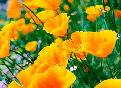 Garden Flowers, Alpine Poppy - p4425224f by Design Pics