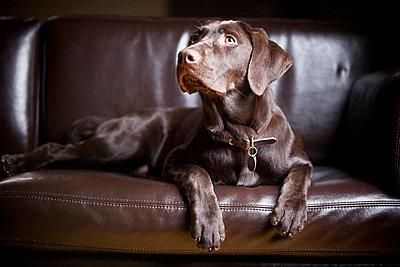 Chocolate Labrador Retriever; Portrait of a labrador sitting on a couch - p4429432f by Design Pics