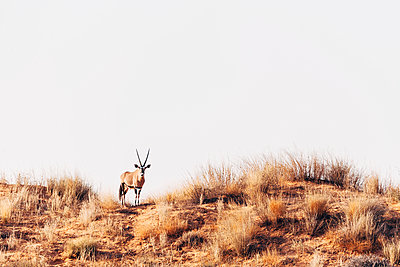Oryxantilope in der Savanne, Kalahari, Südafrika - p1065m982609 von KNSY Bande