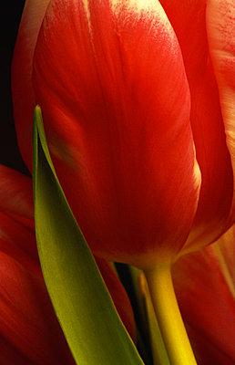 Red tulip - p1418m1571581 by Jan Håkan Dahlström