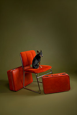 Dog sitting on a red chair - p1554m2158876 by Tina Gutierrez
