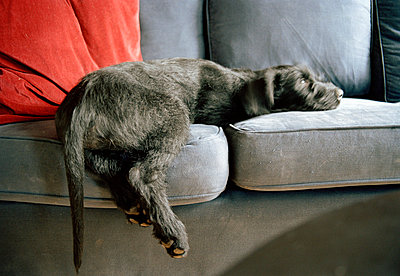 A giant schnauzer puppy lying on a couch. - p31215700f by Lars  Stenman