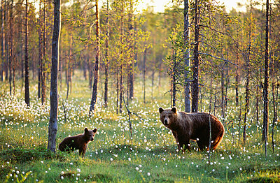 Brown bear with cub - p5755600 by Antti Leinonen