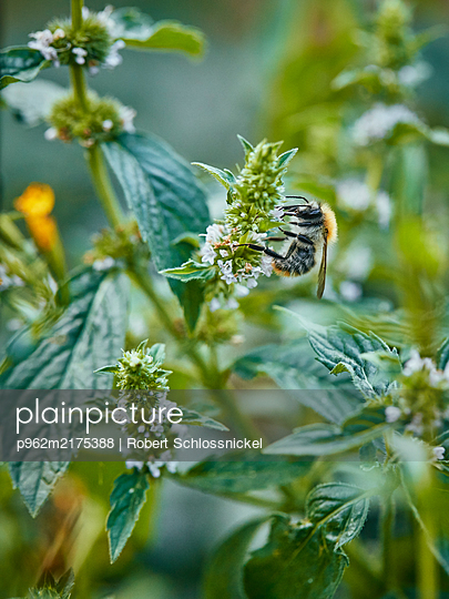 Bumblebee on mint leaf - p962m2175388 by Robert Schlossnickel