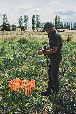 Farmer standing in a field holding freshly picked red onions. - p1100m2271501 by Mint Images