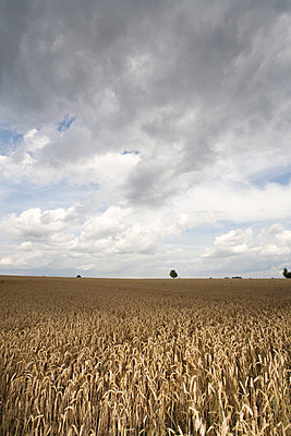 Cornfield with thunderclouds - p2686553 by Jana Kay