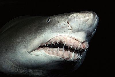 Grey Nurse Shark close-up of teeth and nose - p8841319 by Norbert Wu