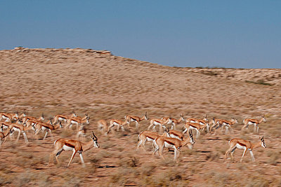 Antilopes - p1065m885915 by KNSY Bande