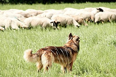 Schäferhund bei der Arbeit - p1439m1496580 von Saskia Uppenkamp