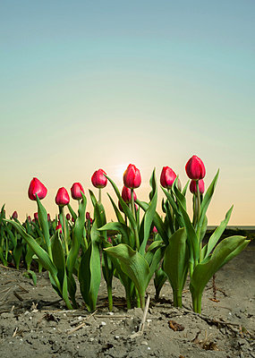 Close up of tulip field - p429m819793 by Mischa Keijser