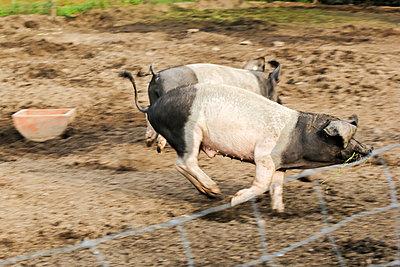 Angler Sattelschwein - p739m933383 von Baertels