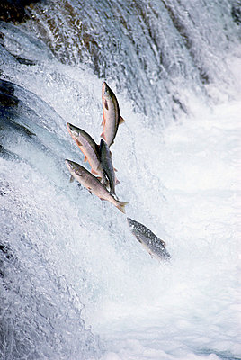 Sockeye Salmon jumping upstream during spawning season - p8844437 by Matthias Breiter