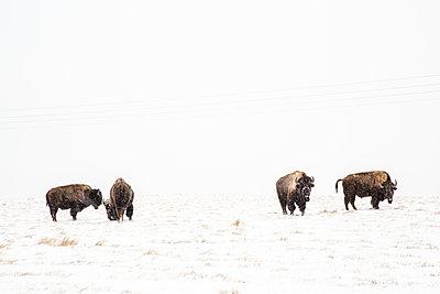 Buffalo - p1291m1515348 by Marcus Bastel