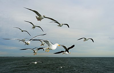 Gulls flying at sea - p429m1029711 by Mischa Keijser