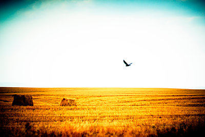 Bird of Prey flying over Agricultural Landscape  - p694m2218881 by Justin Hill photography