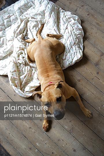Staffordshire Terrier - p1121m1574874 von Gail Symes