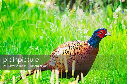 A male ring naked pheasant in a grassy field - p1302m2230082 by Richard Nixon