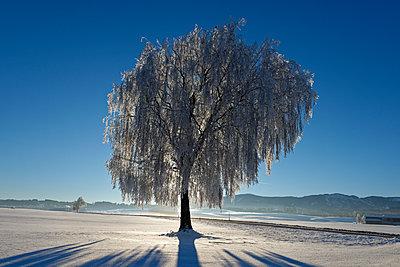 Germany, Bavaria, Pfaffenwinkel, frost at a tree near Steingaden - p300m1356222 by Lisa und Wilfried Bahnmüller