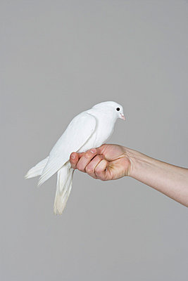 A dove perched on a human hand - p3018947f by Paul Hudson