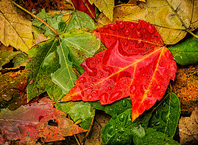 Raindrops on fallen leaves in various autumn colours;Ohio united states of america - p442m804936f by Tom Patrick