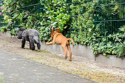 8 weeks old Viszla dog - p739m917888 by Baertels