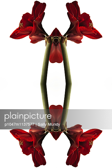 Abstract kaleidoscope of a red amaryllis flower - p1047m1137577 by Sally Mundy