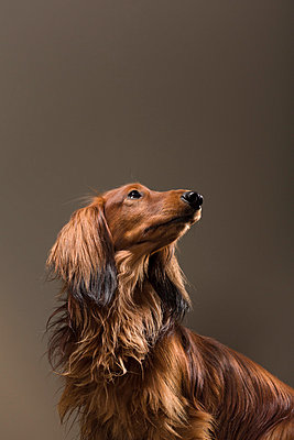 Long-haired Dachshund I - p1076m859340 by TOBSN