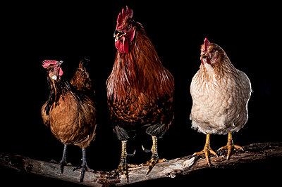 Chicken - p1186m1020558 by Christine Henke