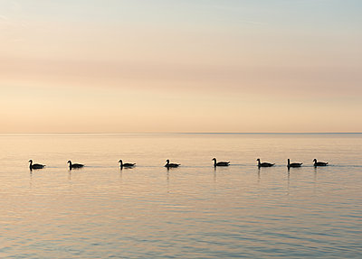 Geese in a Row - p1335m1172306 by Daniel Cullen
