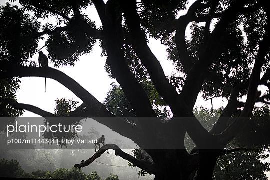 Monkeys in a big tree - p1007m1144344 by Tilby Vattard