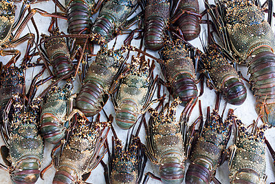 Freshly caught lobster - p304m1219340 by R. Wolf