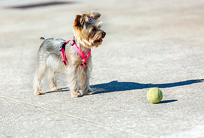 Portrait of Yorkshire Terrier standing in front of a ball - p300m1140802 by Marco Govel