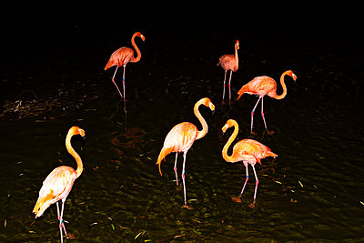 Flamingos, Nachtaufnahme - p712m2082630 von Jana Kay