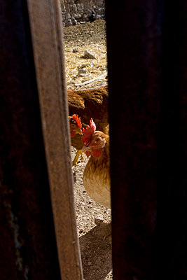 Rooster farm - p7690029 by Nicolai Froehlich