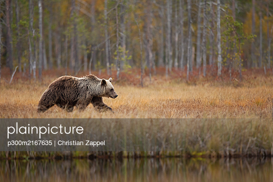 Finland, Kainuu, Kuhmo, Brown bear(Ursusarctos)walking along grassylakeshorein autumn taiga - p300m2167635 by Christian Zappel