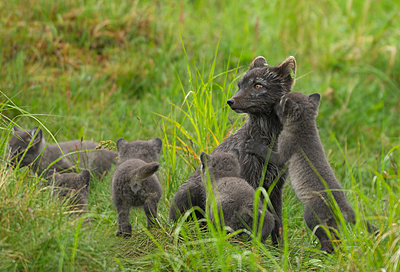 Arctic Fox mother with her cubs, Sweden. - p5755003 by Staffan Widstrand
