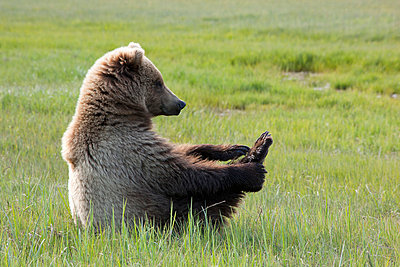 Brown Bear young female sitting on sedge flats holding onto foot - p884m864050 by Matthias Breiter