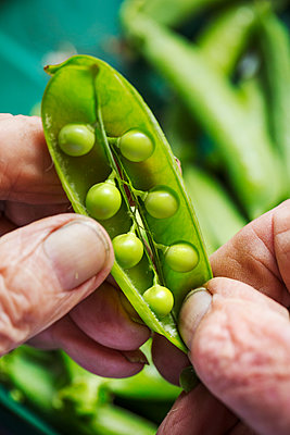 A man opening a peapod to see the fresh peas growing inside it  - p1100m1178030 by Mint Images