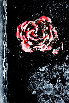 Verblichene Porzellanrose - p248m709339 von BY