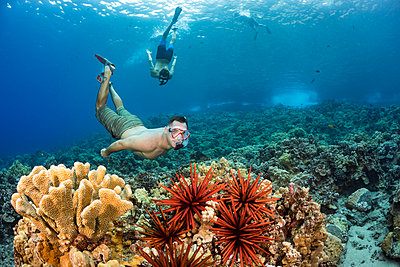 Two men free diving over a Hawaiian hard coral reef with slate pencil sea urchins (Heterocentrotus mammillatus); Hawaii, United States of America - p442m2033397 by Dave Fleetham