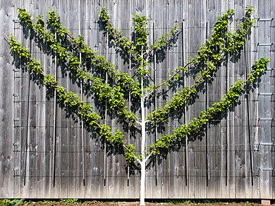 Espalier tree - p451m903670 by Anja Weber-Decker