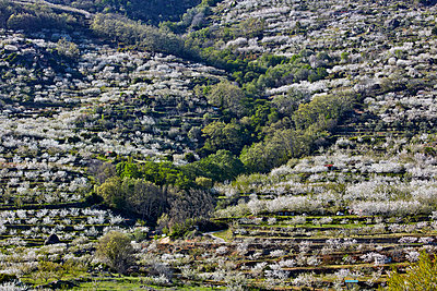 Cherry blossom in Jerte valley - p719m1563580 by Rudi Sebastian