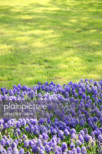 Field of purple flowers, Tokyo prefecture, Japan