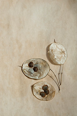 Three dried honesty leaves with seeds - p1047m1071889 by Sally Mundy